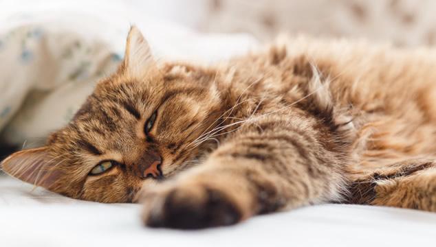 ¿Cuál es la temperatura normal de un gato?