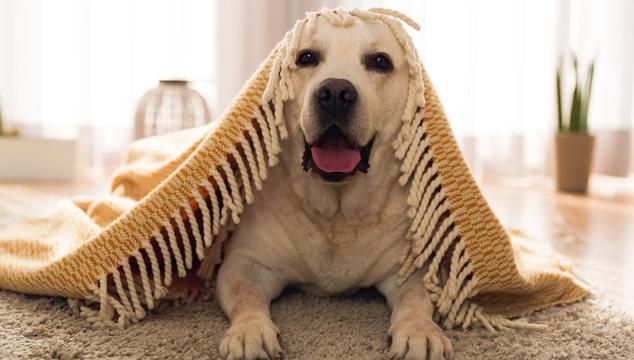 Cómo saber si tu perro tiene frío