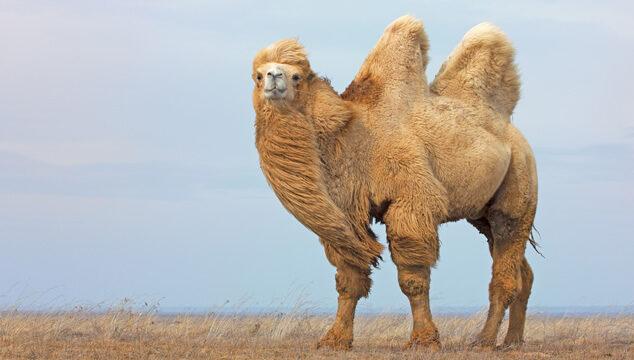 Lo que no sabías de los camellos