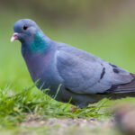 Lo que no sabías de las palomas
