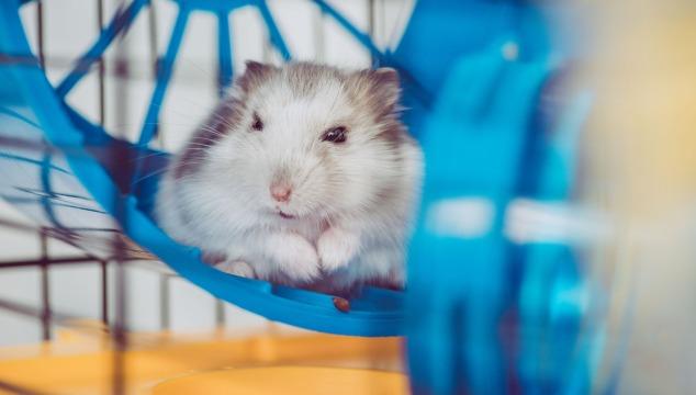 hamster-en-rueda