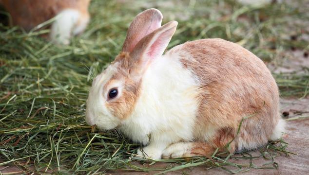conejo-come-pasto