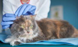 Limpieza de orejas en gatos