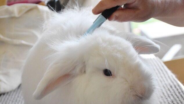 Muda de pelo en conejos